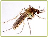 三斑家蚊及環紋家蚊